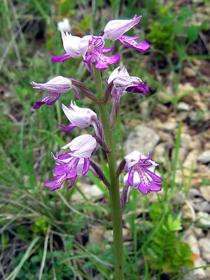 orchidee sauvage pentecote